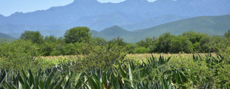Turismo Tamaulipas promoverá riqueza mezcalera